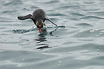 Macaroni Penguin porpoising toward its nesting area.