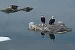 A pair of bald eagles perched on a pile of snow in Homer, Alaska.