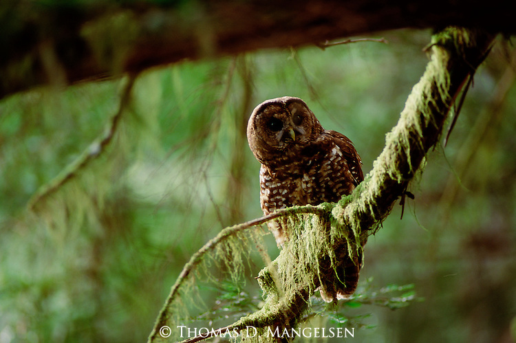 Northern spotted owl perches on a branch.