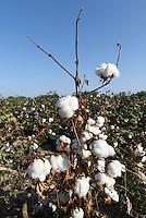 Baumwollfeld bei Chiwa, Usbekistan, Asien<br /> cotton field near Chiwa, Uzbekistan, Asia