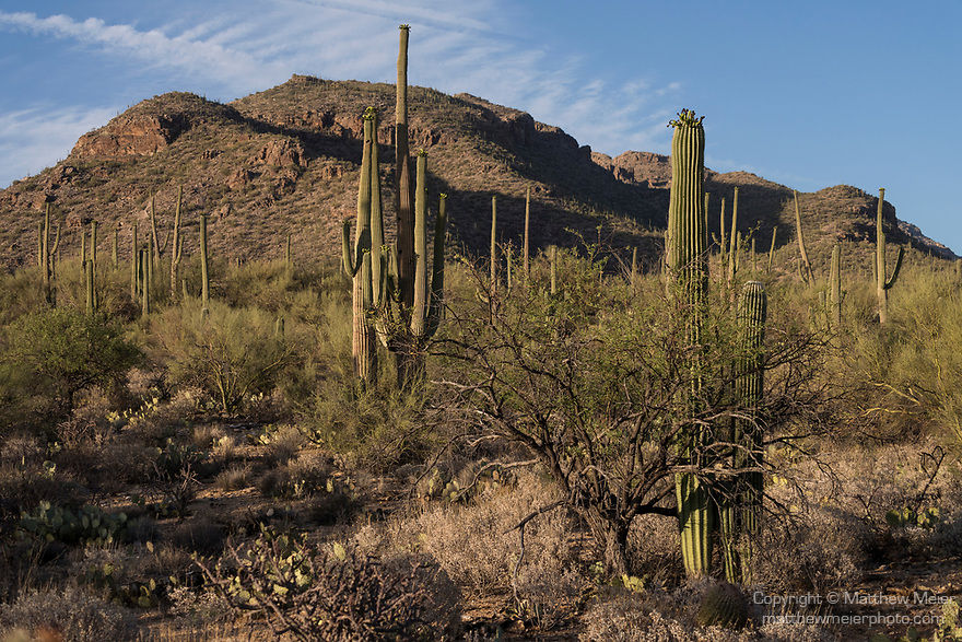 Sabino Canyon Recreation Area, Tucson, Arizona; a saguaro cactus growing out of its dying nurse tree in late afternoon sunlight