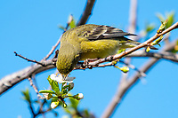 Female Lesser Goldfinch, Carduelis psaltria, feeds on flowers in a plum tree in Berkeley, California