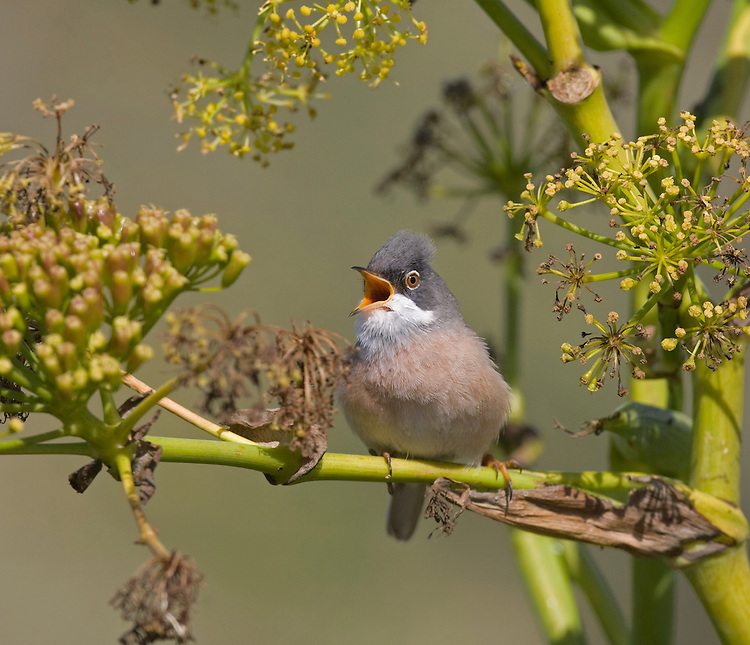 Spectacled Warbler - Sylvia conspicillata orbitalis - male