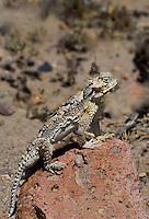 437800004 a wild southern desert horned lizard phrynosoma platyrhinos calidiarum suns on a large rock in mono county california