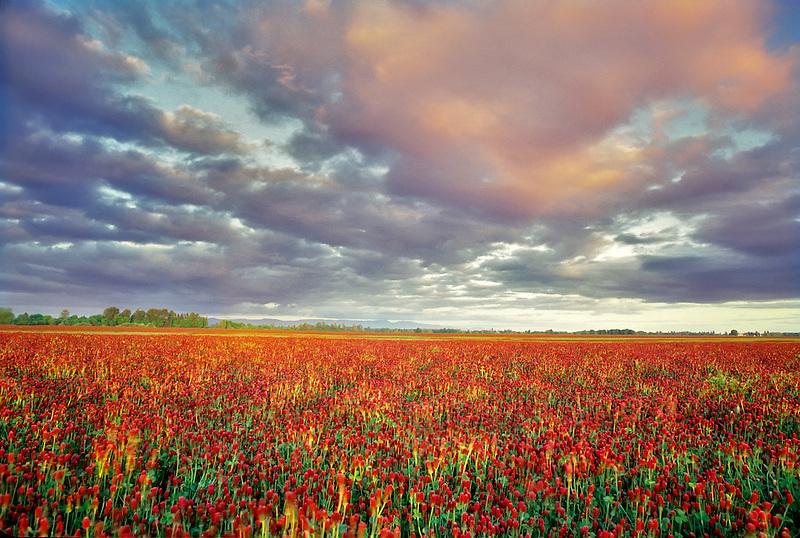 Crimson clover near Monroe, Oregon.