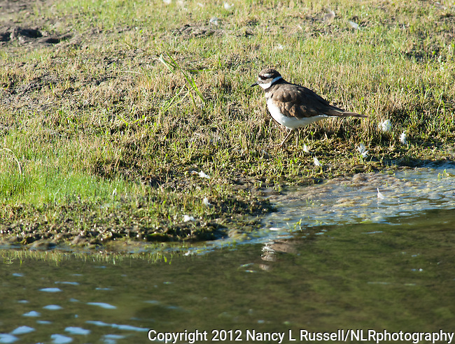 Killdeer foraging in the wetlands in Kootenai National Wildlife Refuge