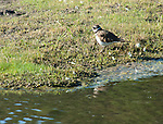 Killdeer foraging in the wetlands in Kootenai National Wildlife Refuge