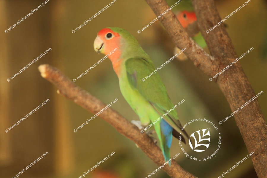 Gorgeous rosy faced lovebird sitting on a tree