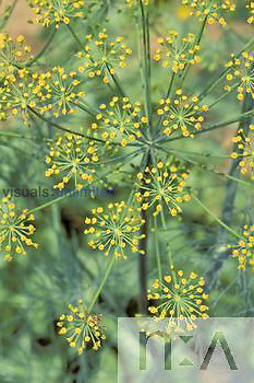 Dill flowers or umbel (Anethum graveolens).