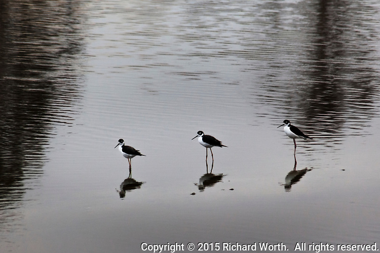 Three Black-necked stilts pause a moment while feeding at a pond along the Hayward Regional Shoreline.