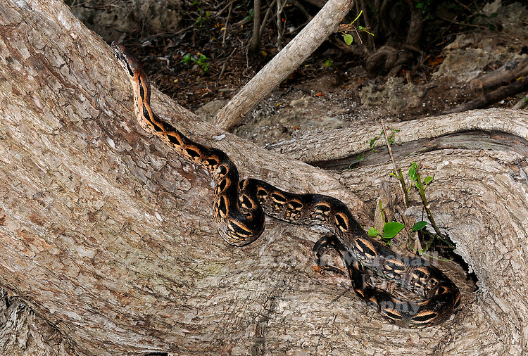 Madagascar ground boa (Acrantophis madagascariensis) - is a relatively large, heavy-bodied, ground-dwelling snake. Its colouration comprises a pattern of brown, tan and black, helping to camouflage it against the leaf litter in its habitat. Also known as the Madagascar ground boa. The overall resemblance is similar to the Dumeril's boas although the pattern is not as defined or as high a contrast as that of the Dumeril's. Diego Suarez region, Northern Madagascar.
