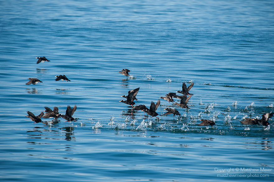 San Diego, California; a flock of Surf Scoter (Melanitta perspicillata) birds taking flight from the surface of the Pacific Ocean