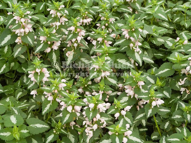 Shell Pink Deadnettle, Lamiun maculatum