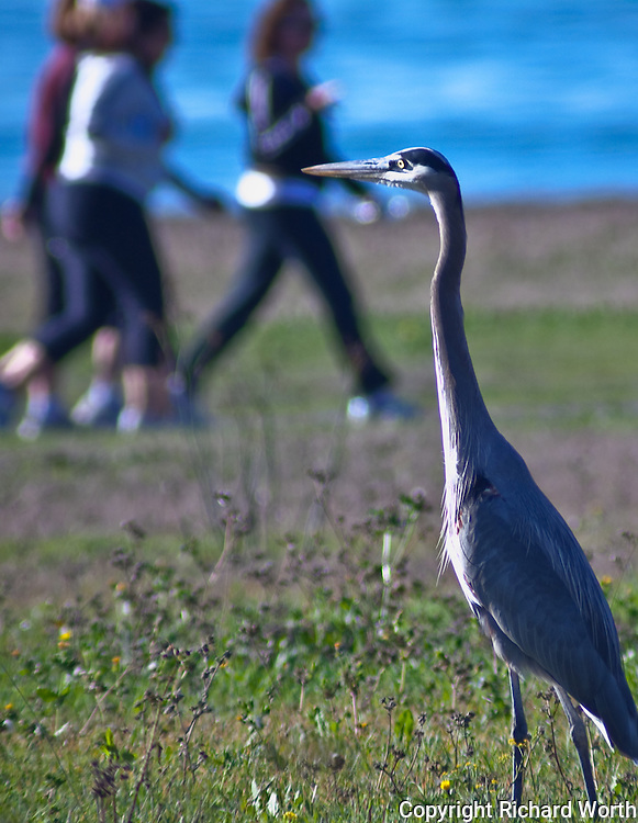 A great blue heron prowls the fields while a group of walkers get their exercise along the Half Moon Bay Coastal Trail.
