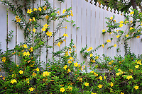 Yellow Allamanda flowers on fence. Charlotte Amalle. St. Thomas. US Virgin Islands.