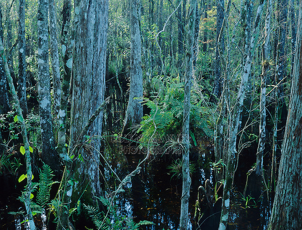 Swamp with Cypress trees and ferns, Six Mile Cypress Slough Preserve, Florida, December 1998