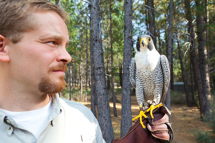 The High Desert Museum located just outside Bend, Oregon. Jon Nelson holds a Peregrin Falcon on the property of the museum