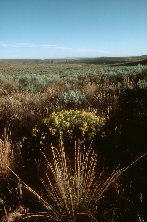 Pristine grasslands; Two Steppe Natural Area, Columbia Basin, Eastern Washington State, Agropyron spicatum, bluebunch wheatgrass, shrub steppe habitat, acquired in part by the Washington Wildlife and Recreation Program, (WWRP), This is a state grant program.