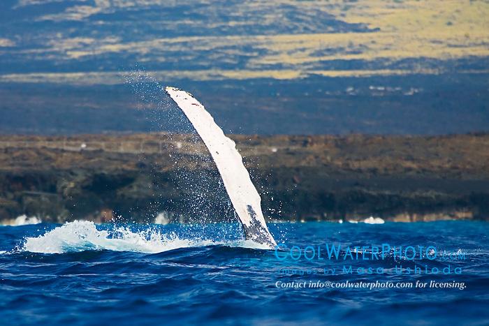 Humpback Whale, pec-slapping, Megaptera novaeangliae, Hawaii, Pacific Ocean.