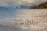 Flocks of western sandpipers congregate on the tidal flats of Hartney bay to refuel on their migratory journey. Chugach mountains, Orca Inlet, Prince William Sound, southcentral, Alaska.