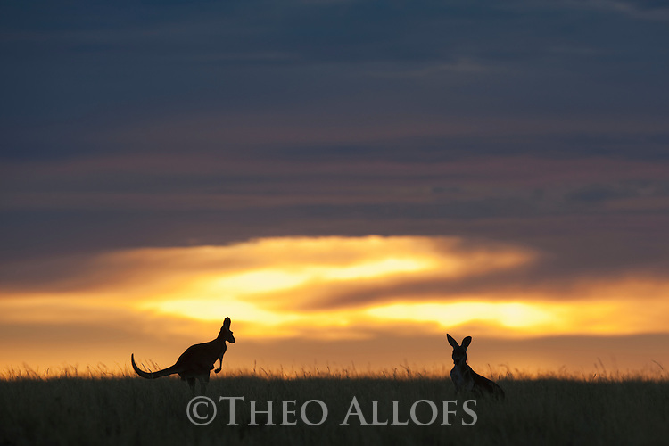 Australia,  NSW, Sturt National Park; red kangaroos silhouetted at sunset (Macropus rufus); the red kangaroo population increased dramatically after the recent rains in the previous 3 years following 8 years of drought
