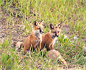 RED FOX PUPS<br /> SILVERTHORNE,COLORADO