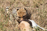 A Cheetah, Acinonyx jubatus jubatus, starts to eat a Thomson's Gazelle, Eudorcas thomsonii, that it has killed in Serengeti National Park, Tanzania