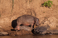 Hippo mother and calf along the Mara river, Kenya