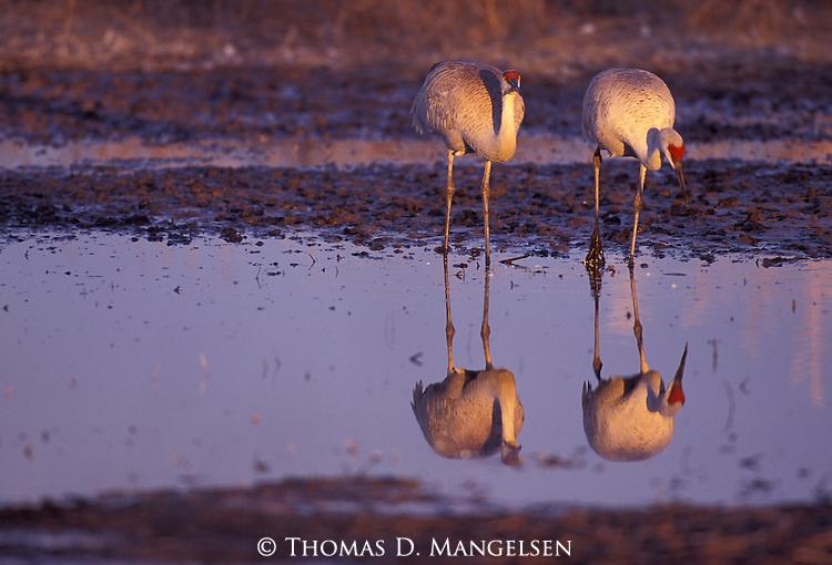 Sandhill Cranes  standing in the Platte River, Nebraska