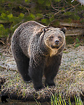 Grizzly bear sow. Yellowstone National Park, Wyoming.