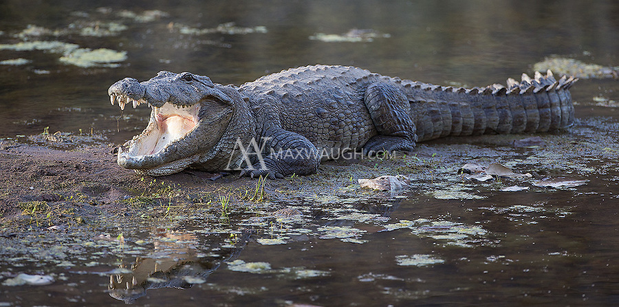 A mugger crocodile rests on shore in Ranthambore National Park.