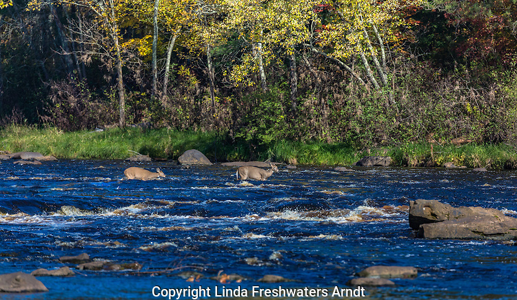 White-tailed doe and fawn crossing the Kettle River in Minnesota