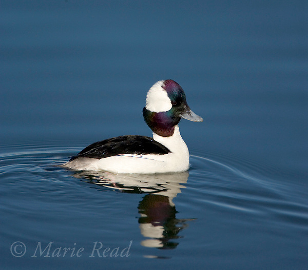 Bufflehead (Bucephala albeola) male, Bolsa Chica Ecological Reserve, California, USA