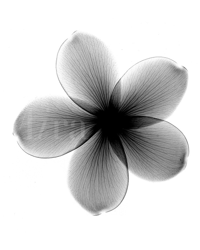 Xray frangipangi  blossom