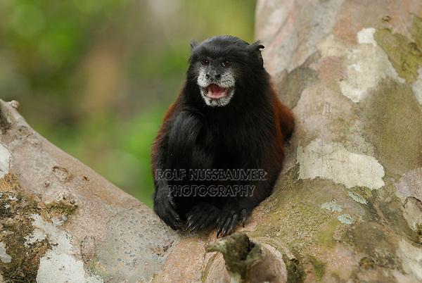 Saddleback Tamarin (Saguinus fuscicollis), adult calling, Pacaya-Samiria National Park, Peru