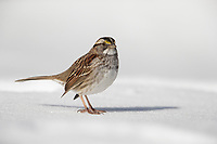 White-throated Sparrow (Zonotrichia albicollis), tan-striped morph in New York City's Central Park foraging in the snow.