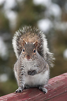 A Grey squirrel with cold hands.