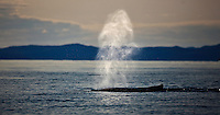 whales; diskobay; Greenland; Cetacea