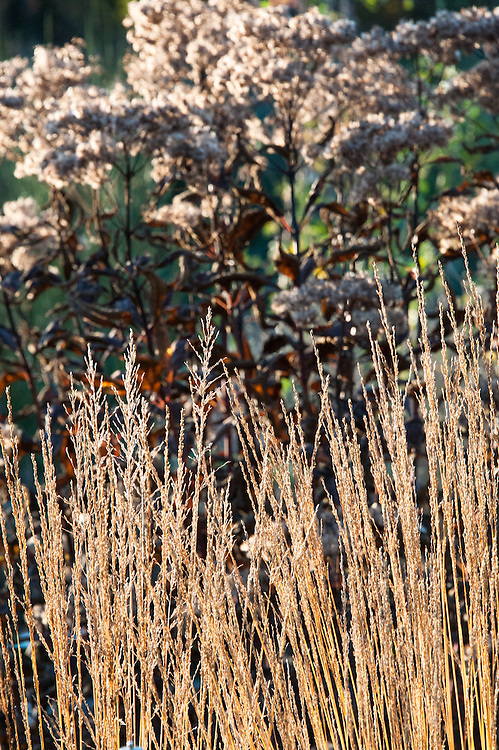 Molinia caerulea, early November. Commonly known as Purple moor grass.