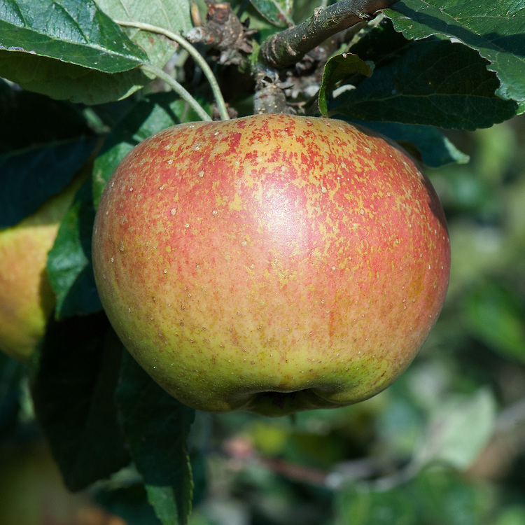 Apple 'Crawley Reinette', late September. An English dessert apple introduced by J. Cheal & Sons of Crawley in sussex. Recorded in 1902.