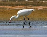 White morph reddish egret in breeding plumage hunting for fish in a pool