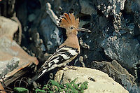 Eurasian Hoopoe, Upupa epops,adult with insect, Camargue, France, Europe