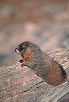 35-M02A-MY-07    YELLOW-BELLIED MARMOT (Marmota flaviventris) on rocks, Rocky Mountain National Park, Colorado, USA.