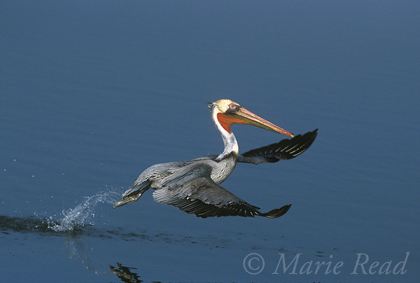 Brown Pelican (Pelecanus occidentalis), Pacific form, taking flight from water, California, USA.<br /> B12-161