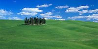 Tuscany, Italy, <br /> Grove of cypress trees on rolling wheat field in the Val d'Orcia near Montalcino