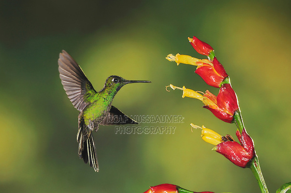 Green-crowned Brilliant (Heliodoxa jacula), male feeding from ginger flower,Mindo, Ecuador, Andes, South America