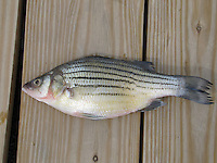 COURTESY PHOTO ARKANSAS GAME & FISH COMMISSION<br /> Yellow bass are an invasive species that are in Beaver Lake, but they're present in low numbers. They resemble white bass, but they hae a yellow tint.
