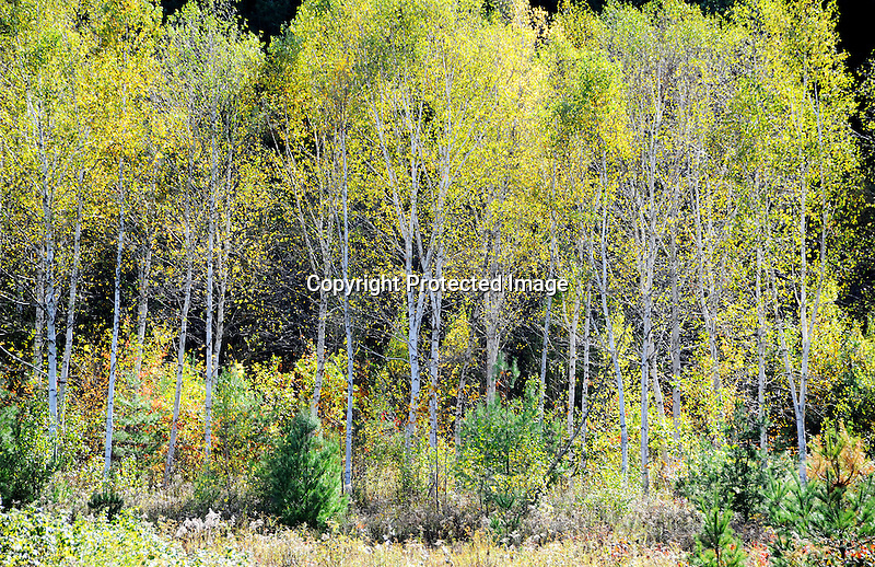 Birch Grove with Changing Colors during Fall Season in Rural New Hampshire USA