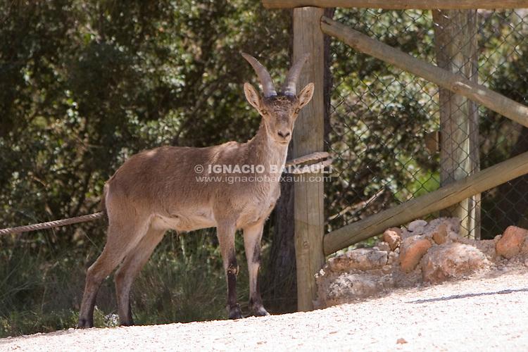 FAUNA IBÉRICA (PARQUE DE LA NATURALEZA) - EL REBOLLAR - REQUENA, Valencia, España / Spain - 4/5/2008