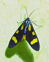 Costa Rica Moths